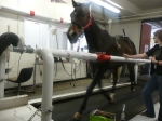 Horse on a treadmill!